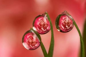 brian_carnation_dewdrops