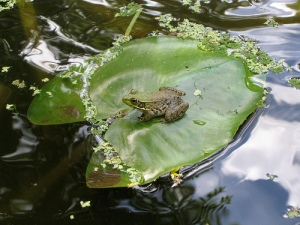 Floating On A Lily Pad