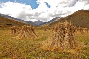 Spring Barley Harvest