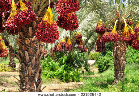 Fruit of the PALM TREE