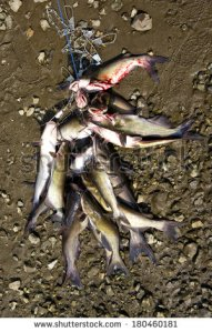stock-photo-mess-of-catfish-on-a-stringer-lying-on-the-bank-of-a-river-180460181