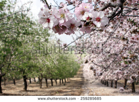 stock-photo-blooming-almond-trees-in-the-garden-259285685