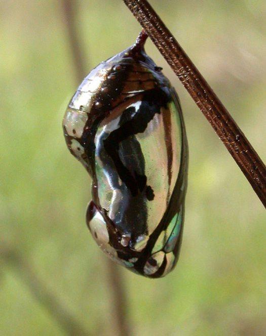 Pupa of crow butterfly (Euploea sp)